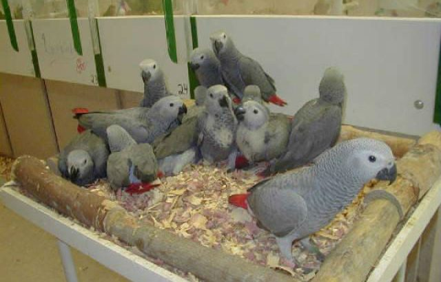 Healthy fertile parrot eggs and birds for sale.