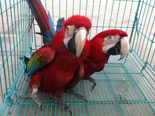 Green Wing macaw Young Pair for sale